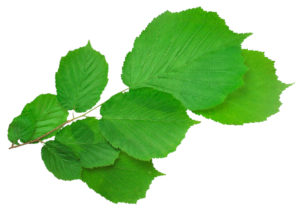 Листья лещины (фундука)