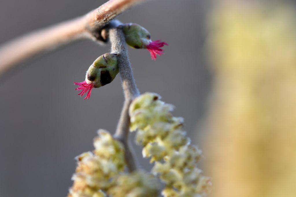 Цветы лещины